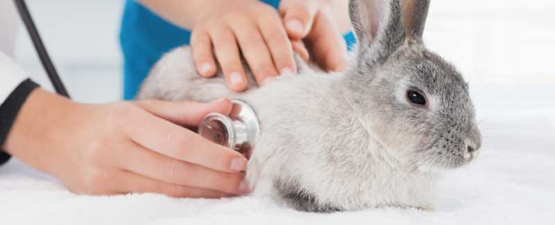 Intro konijn en knaagdier